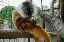 Lemur tmavý (Eulemur macaco).