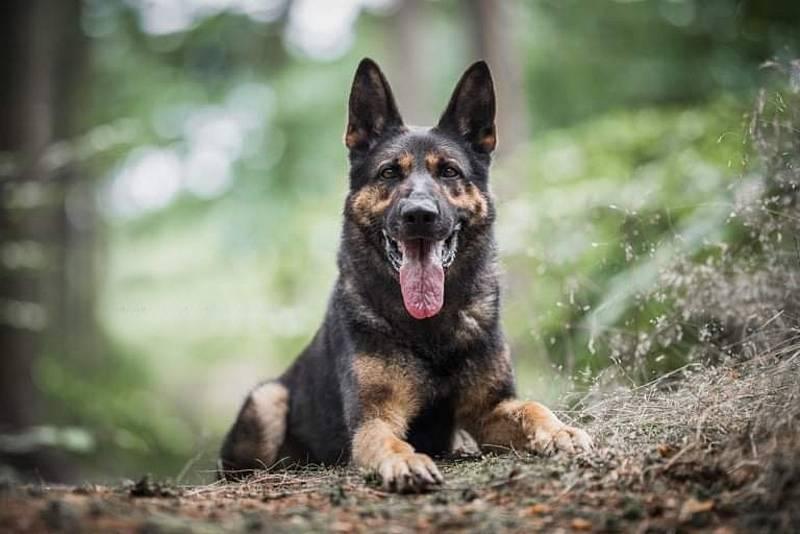Šestiletý policejní pes Hakim slouží v Kladně, na starosti má rajon Kladenska, Berounska, Rakovnicka i Prahy-západ