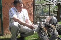 Ředitel zooparku při krmení lemurů, kteří mají nejraděli hroznové víno, banány a  jablka.