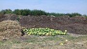 Nevídané! Pole za Slaným je plné melounů.