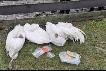 Uhynulé husy v záchranné stanici.