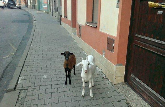Vše dopadlo dobře a ovečka i s kozou už jsou doma.