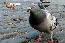 Více než šest set holubů se podařilo na přelomu roku vymýtít kladenské Správě bytového fondu. Viditelně jich ubývá.