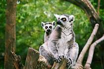 Lemur kata s mládětem.