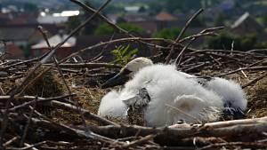 Kroužkování čapího mláděte v Kačici - ornitolog Stanislav Lepič