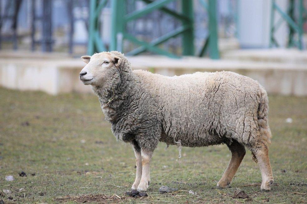 O stádo oveček v kladenské elektrárně pečuje Stanislav Beránek.
