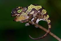 Chameleon límcový, první mládě roku 2020.