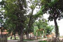 Lidé ve Slaném mají ze starých stromů strach