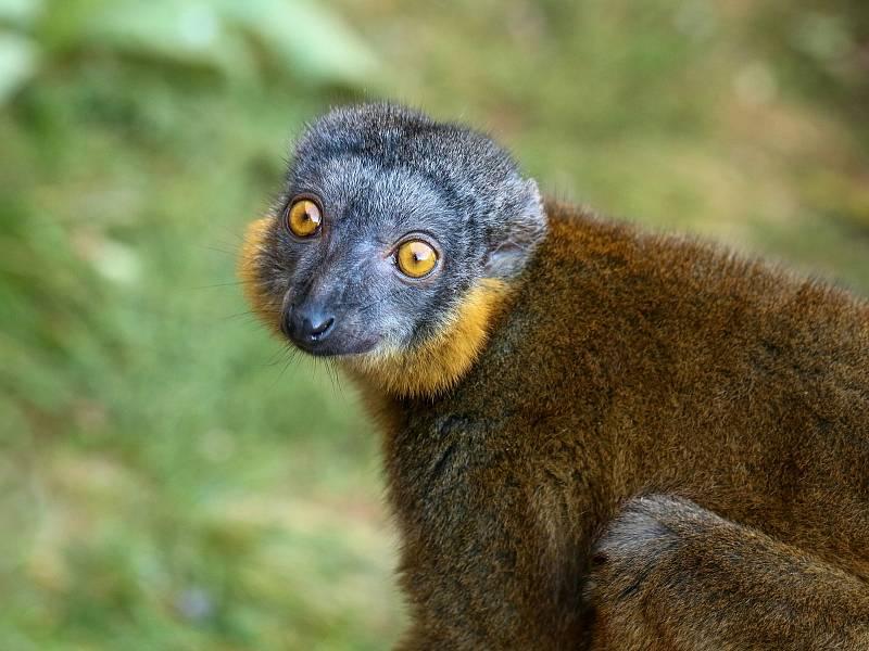 Lemur límcový.