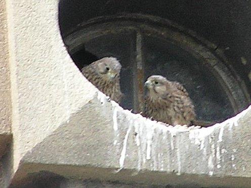 Tyto poštolky se o své bydlení obávat nemusí. Pro majitele domu jsou ochranou před kálejícími holuby.
