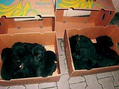 Štěňata nalezená před Vánocemi v krabicích od banánů