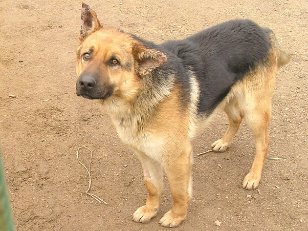 ZRANĚNÝ německý ovčák se ze svých zranění bude zotavovat dlouho. Je psychicky otřesen a nemá ani chuť k jídlu.