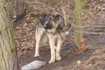 Německý ovčák. Zubožený a uvázaný u stromu u Hřebče