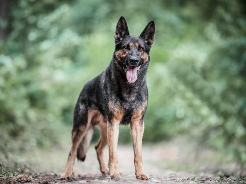 Policejní pes Hakim vypátral muže, který utekl od nehody a poté seniora v nouzi.