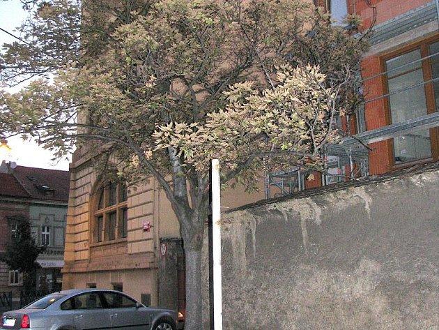 Co způsobilo usychání javoru v Šultysově ulici se dá nyní zjistit už jen těžko.