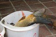 Lidé si mohli vybrat ze třech druhů ryb - kapr, pstruh a amur.