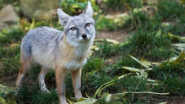 Ze zooparku utekly ochočené lišky, pomozte je najít.