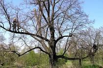 Památná lípa ve Velvarech se dočkala péče od arboristy a zahradníka Adama Pávka.