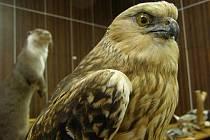 Kladenští kriminalisté pytlačícím myslivcům zabavili vypreparované exempláře vzácných zvířat.