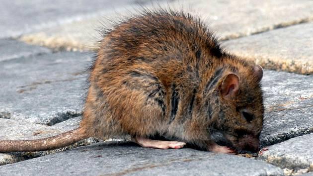 Nespokojení potkani už našli cestu přímo do vašeho bytu. Záchodovou mísu.