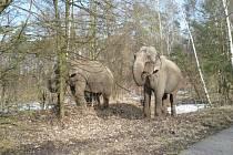 Sloni byli na procházce s ošetřovatelem.