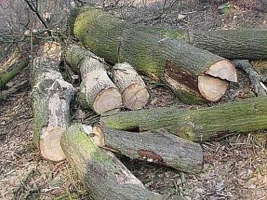 Pokácené duby
