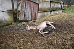 Uhynulý kůň v Žilině.