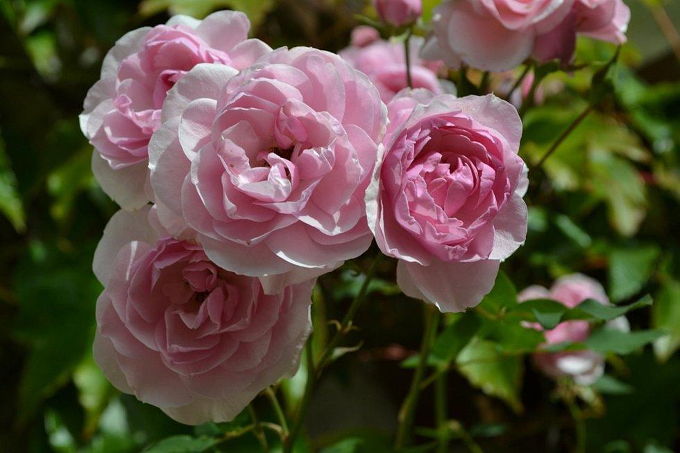 Růže bývá často označována za symbol krásy a lásky.