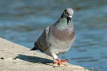 Holub. Trus, trus a zase trus. Tím jsou holubi nejznámější.
