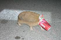Ježek neměl šanci se z kelímku dostat sám. Jen zmateně pobíhal po silnici.