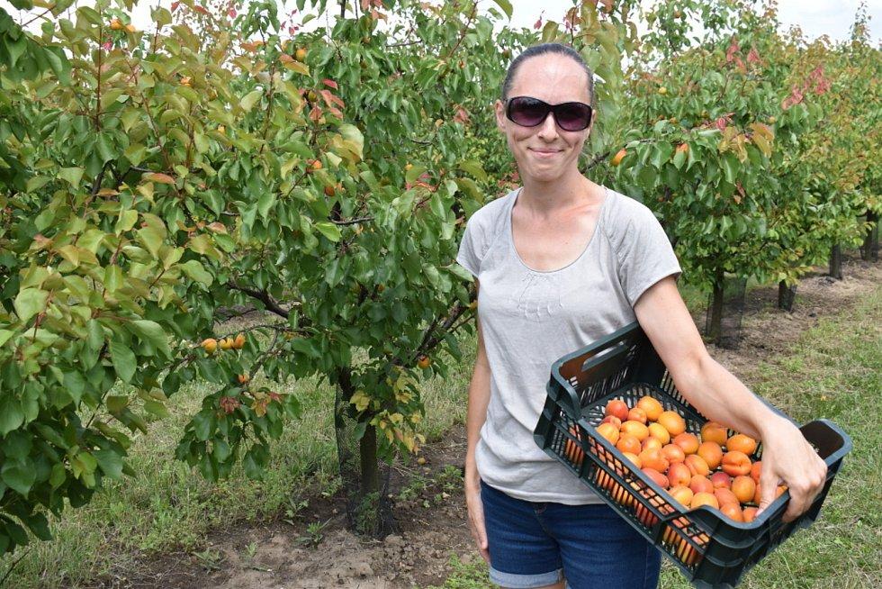Samosběr meruněk v ovocnářství Hany Polívkové ze Pcher. Sady se rozprostírají v okolí Slaného.