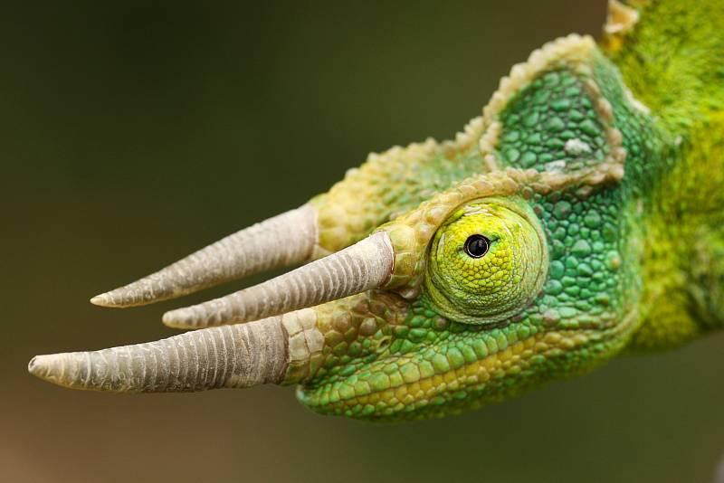 Chameleon třírohý.