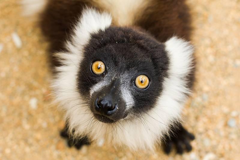 Lemur vari.