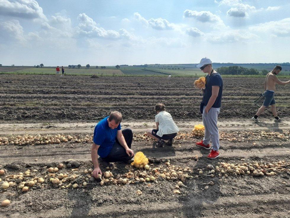 Samosběr cibule a brambor na polích u Osluchova.