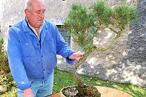 Chlouba bonsajisty Pavla Janouše – několik desítek let stará borovice.