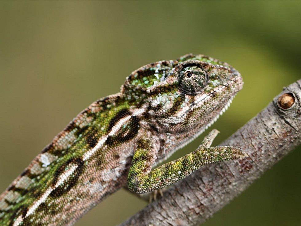 Dospělý chameleon kobercový.