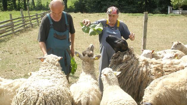 Postižení pracující na farmě v Ledcích nyní mají strach o osud ovcí, o něž se starají.