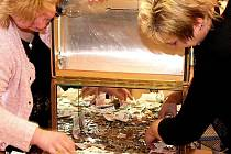 Vánoční pohádkovou truhlu otevřely včera pracovnice oddělení komunikace s veřejností a finančního odboru kladenského magistrátu. Po sečtení  převezly  peníze do bankovního ústavu.
