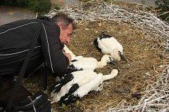 Ornitolog Stanislav Lepič kroužkuje čtyři letošní čapí přírůstky.