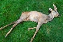 Volně pobíhající psi v Kladně usmrtili srnce.