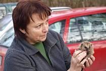 Ne každý ježek, kterého při procházce potkáte, potřehuje lidskou pomoc.