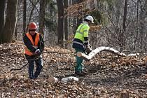 Kácení stromů v lesoparku Háje ve Slaném.