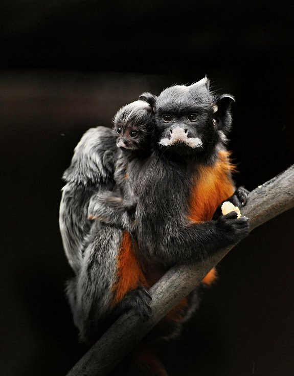 Zoopark Zájezd: tamarin.