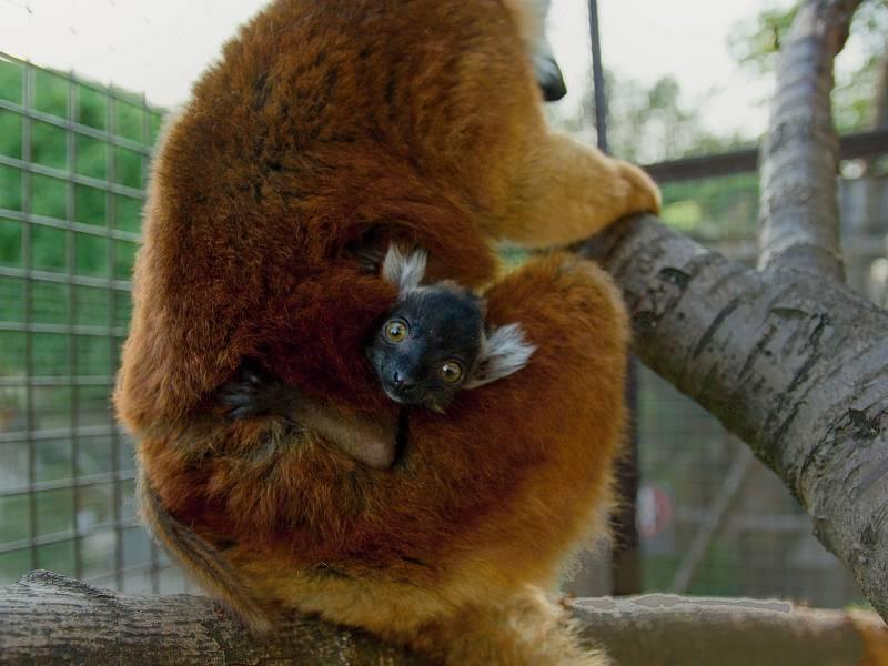 Lemur tmavý.
