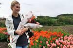 Tulipány na květinové farmě ve Stehelčevsi.