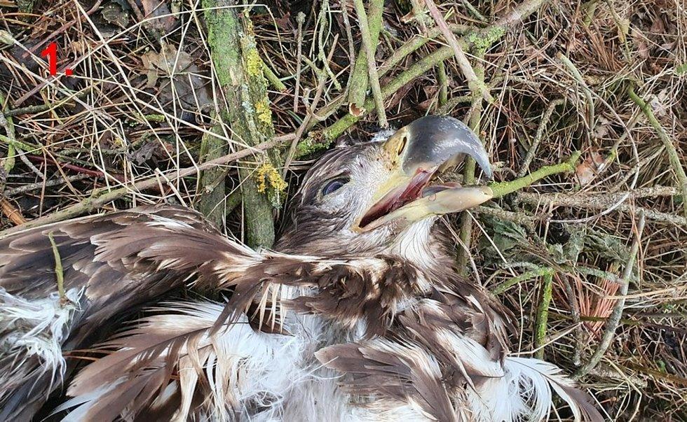 Čtyři otrávení orli mořští na jednom místě u Velkého Boru.