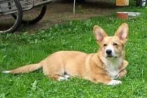 Obynatele Hráze trápí pes rasy Welsh Corgi Pembrok