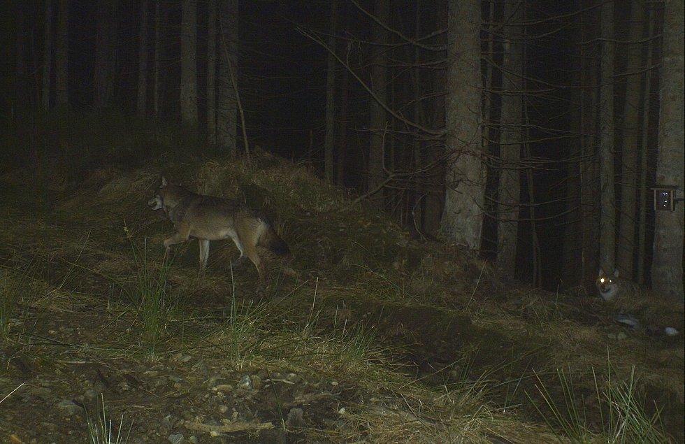 Vlci na Šumavě. Vlčí pár na Hochschaten.