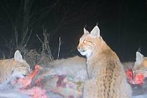 Rysí rodina hoduje nedaleko Srní na jelením mláděti, které ulovila. Tento snímek byl pořízen pomocí tzv. fotopasti, brzy by ale něco takového mohli vidět návštěvníci Šumavy na vlastní oči.