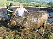 Tvrdoslav záchrana krav